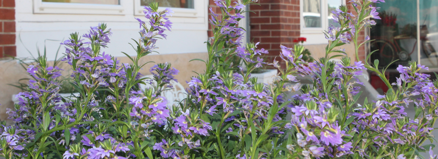 Closeup of purple flowers and green leaves; brick building in the background